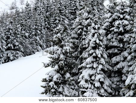 Fir Trees Covered With Snow In The Mountain