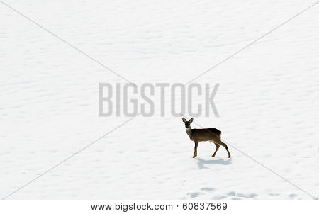 Young Roe Deer Amid The Snow White In Search Of Food During The Cold Winter In The Alps