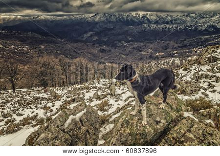 Border Collie Dog Standing On Rocks With Snow Covered Mountains In Background