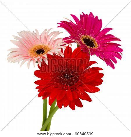 posy of gerbera flowers