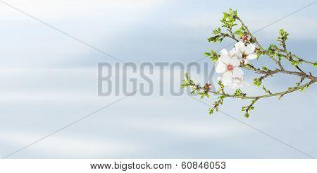 Spring Blooming Almond Tree Against Blue Sky