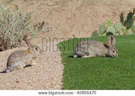 Desert Cottontail Rabbits