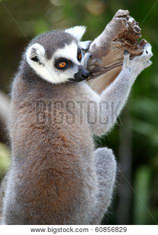 Lemur Primate
