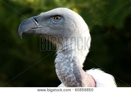 Griffon Vulture Bird Portrait