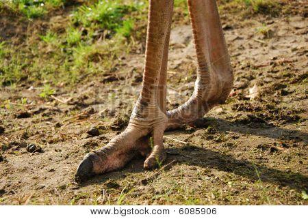 ostrich legs