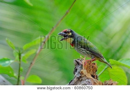 Coppersmith Barbet Bird (megalaima Haemacephala)