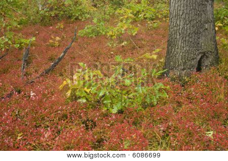 Red Groundcover,fall Colors In Dunes State Park