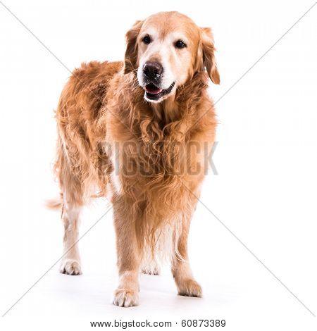 Golden retriever dog posing in studio. Isolated on white background