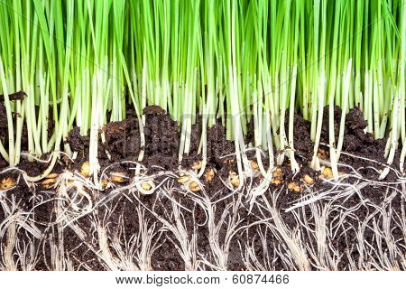 sprouts of green wheat grass background