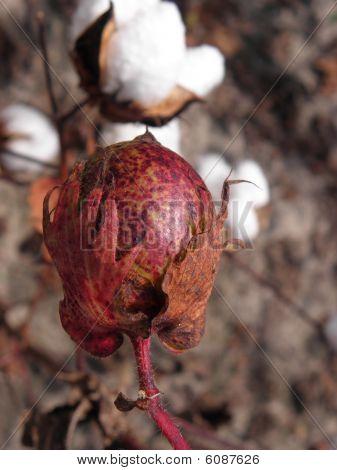 cotton pod