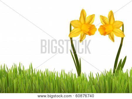 Two Yellow Daffodils