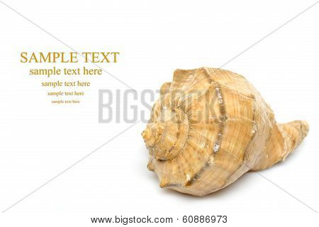 Concha Sea Shell