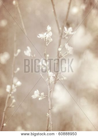 Cherry tree blossom, abstract soft color floral background, fresh white blooming flowers, spring garden seasonal nature, sepia vintage style fine art photo