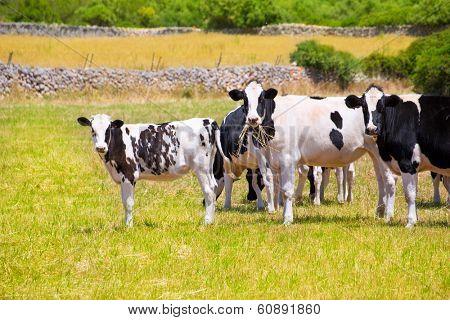 Menorca Friesian cow cattle grazing in green meadow at Balearic Islands of Spain