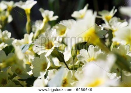 Primeln - die ersten Frühlingsblumen