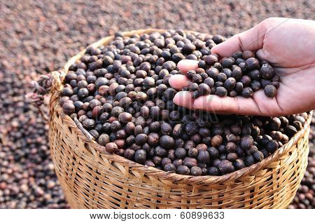 dried coffee berries on hands