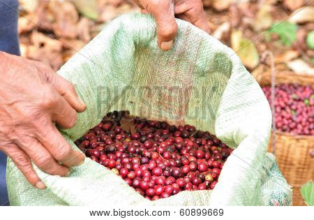 robusta berries in plastic bag