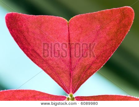 Macro - Fragment Of Red Window Plant Leaf