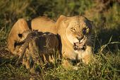stock photo of african lion  - African Lion Mother and feeding cubs South Africa - JPG