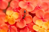 Ant On Orange Ixora Chinensis Flowers