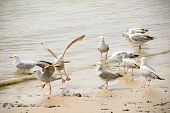 stock photo of flock seagulls  - flock of seagulls wading on a sandy beach