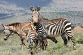 stock photo of veld  - 3 Zebra - JPG