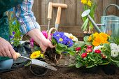 stock photo of plant pot  - Gardeners hands planting flowers in pot with dirt or soil at back yard - JPG