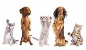 stock photo of long tongue  - long haired miniature dachshund and standard dachshund and shepherd - JPG