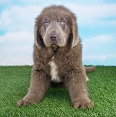 picture of newfoundland puppy  - A Newfoundland puppy sitting in the grass with a blue sky behind him - JPG