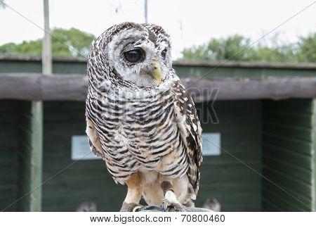 Rufous Legged Owl