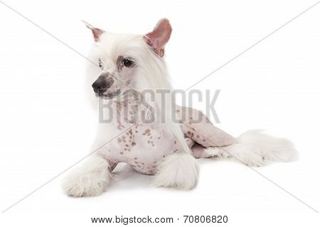 Hairless Chinese Crested Dog Lying Over White
