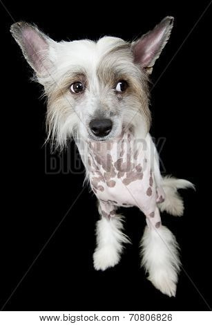 Hairless Chinese Crested Dog Looking Up Over Black
