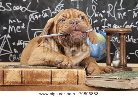 French Mastiff Puppy Chewing A Pencil
