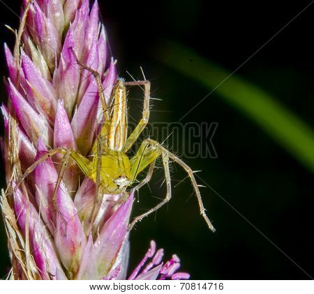 Goldenrod Crab Spider Sitting On A Flower