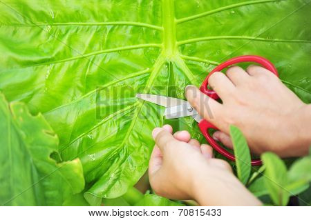 Hands with scissors cut taro leaf plant in garden