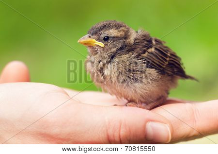 Cute Baby Sparrow In Hand