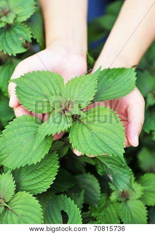 hand protect japanese basil plant