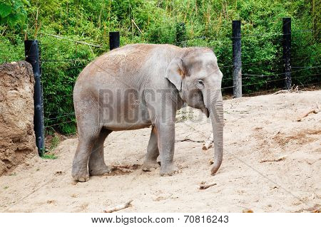 Female elephant on a sandy enclosure
