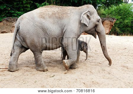 Mother elephant with her newborn baby elephant
