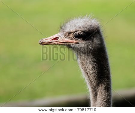 The portrait of Ostrich on a green background