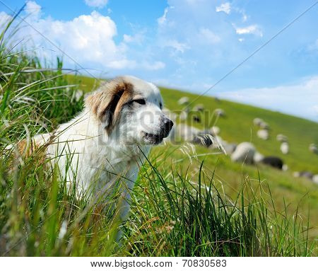 Sheepdog And Sheep