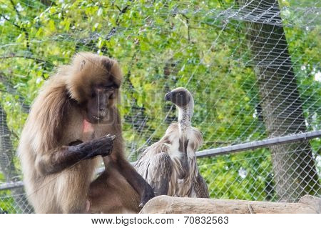Gelada Baboon (theropithecus Gelada) And A White-backed Vulture (gyps Africanus)