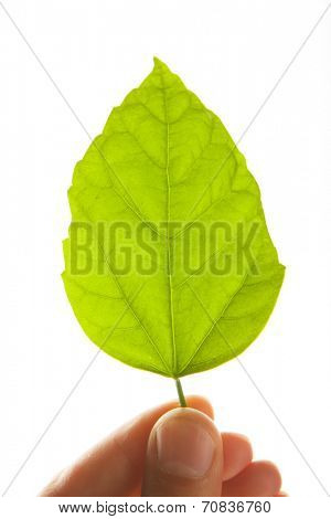 green leaf in hand, isolated on white