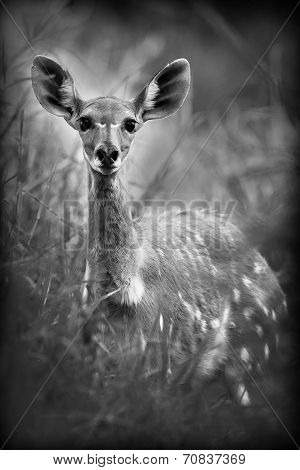 Antelope In Black And White