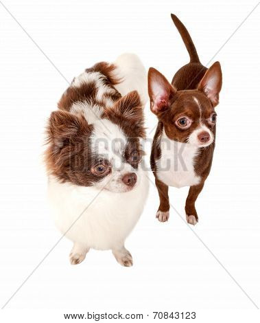 chocolate with white two chihuahua dogs isolated on white background