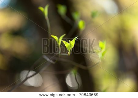 Young leaves and branches of dogwood (Cornus florida)