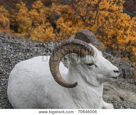 ram in fall colors