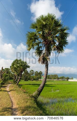 Borassus flabellifer on the rice field in the sunrise at Tinh Bien frontier, An Giang province, Viet