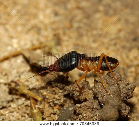 The Big Soldier Termite Of Soil Eaters