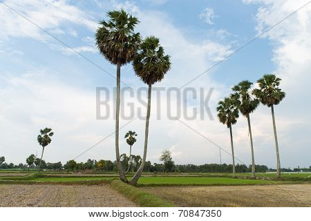 palm trees ( Borassus flabellifer ) on the rice field in the sunrise at Tinh Bien frontier, An Giang